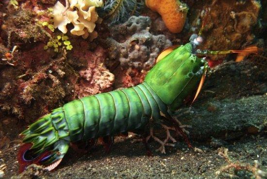 información sobre el camarón mantis 2