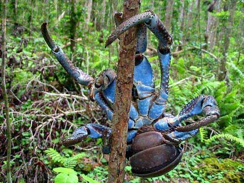 información sobre el cangrejo de los cocoteros 1