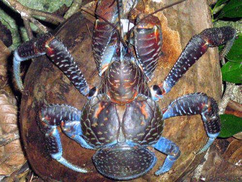 información sobre el cangrejo de los cocoteros 2