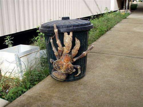 información sobre el cangrejo de los cocoteros 3