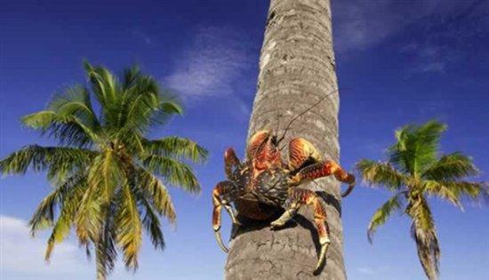 información sobre el cangrejo de los cocoteros 4