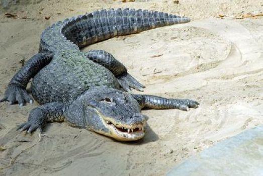 información sobre el cocodrilo 1