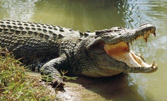 información sobre el cocodrilo 3
