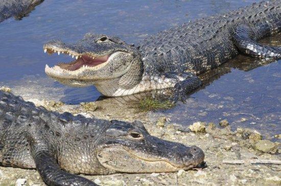 información sobre el cocodrilo 4