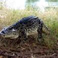 información sobre el cocodrilo cubano 5
