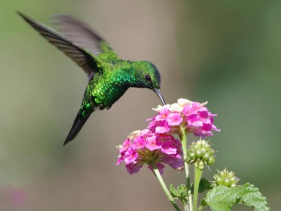 información sobre el colibrí 2