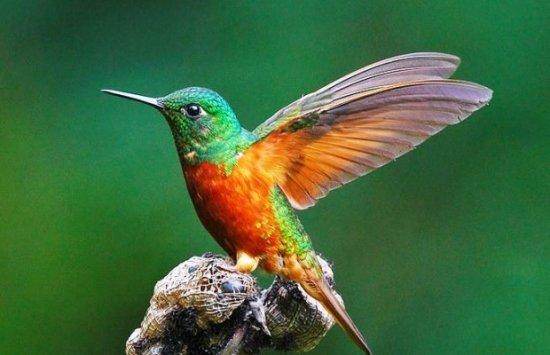 información sobre el colibrí 3