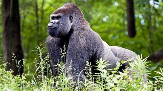 información sobre el gorila de montaña 1