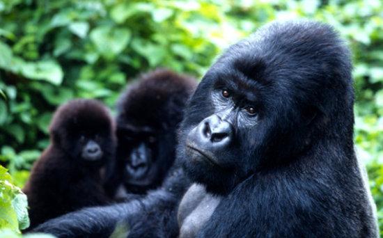 información sobre el gorila de montaña 2