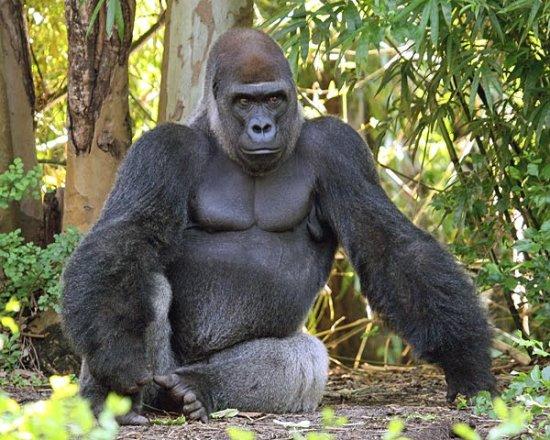 información sobre el gorila de montaña 3