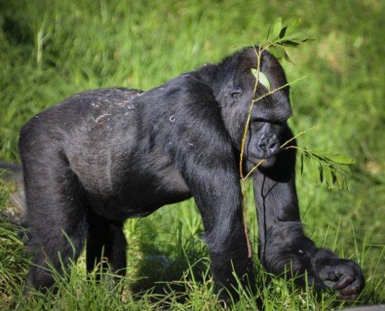 información sobre el gorila de montaña 4