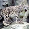 información sobre el leopardo de las nieves 2