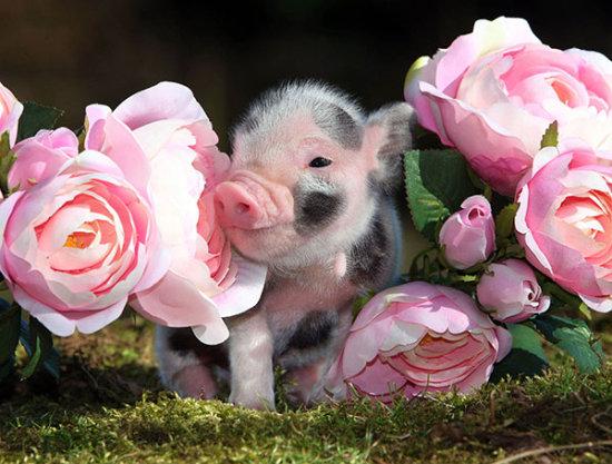 información sobre el mini pig