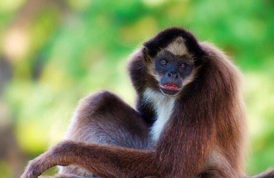 información sobre el mono araña 1