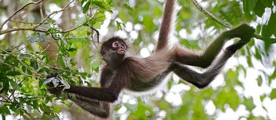 información sobre el mono araña 2