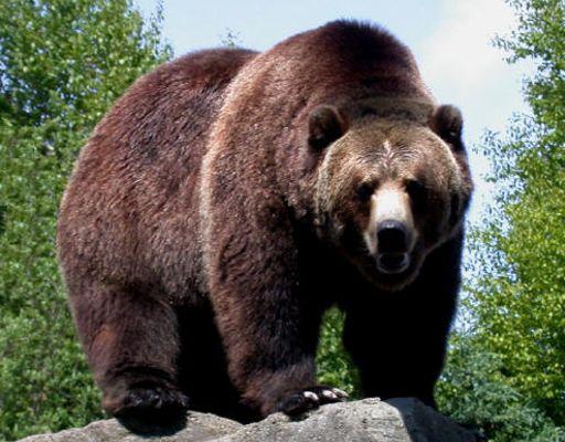 información sobre el oso 1