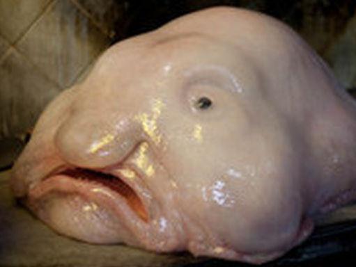 Resultado de imagen de pez gota