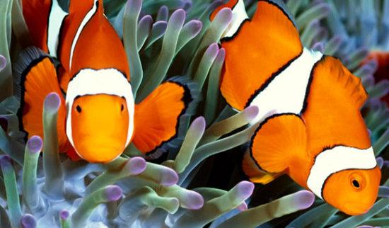 información sobre el pez payaso 3