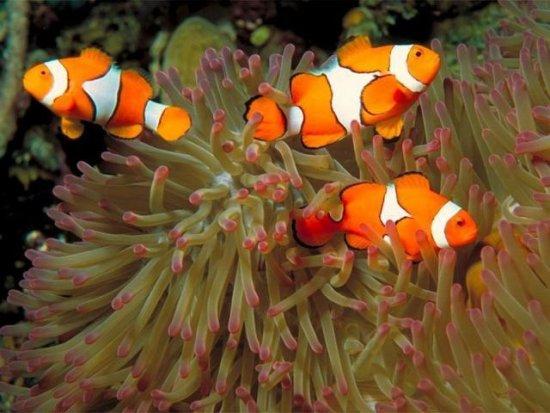 información sobre el pez payaso 4
