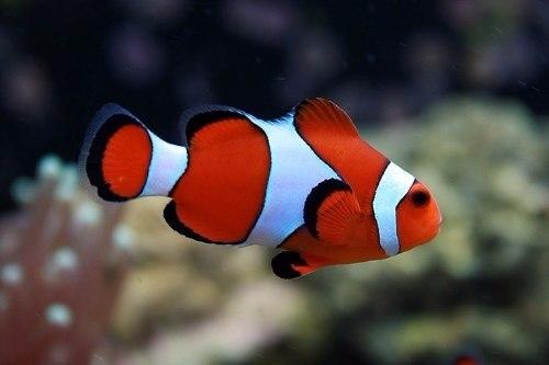 información sobre el pez payaso 6