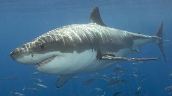 información sobre el tiburon 1