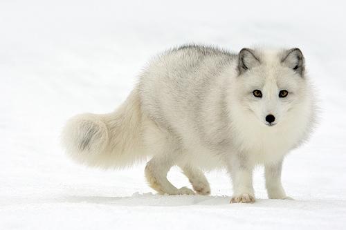 información sobre el zorro ártico 1