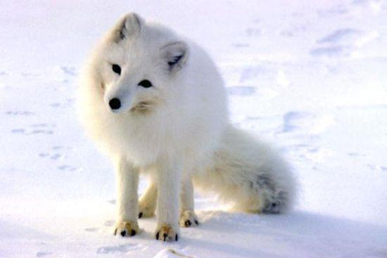 información sobre el zorro ártico 2