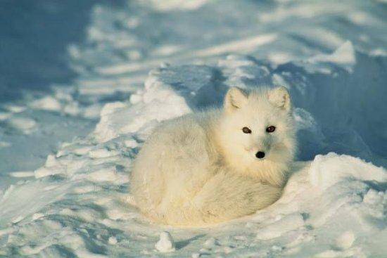 información sobre el zorro ártico 4