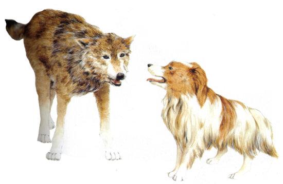 información sobre evolución del lobo al perro 1