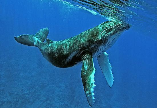 información sobre la ballena 1