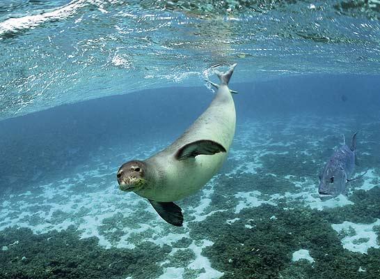 información sobre la foca monje del Mediterráneo 2