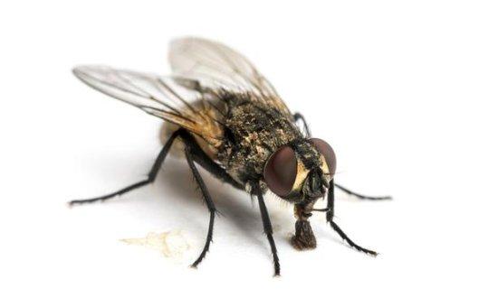 información sobre la mosca 1