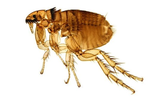 información sobre la pulga 1
