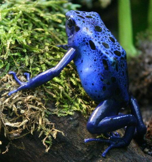 información sobre la rana dardo venenosa 1