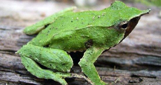 información sobre la rana de darwin 1