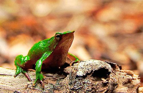información sobre la rana de darwin 2