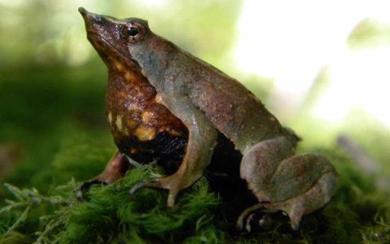 información sobre la rana de darwin 4