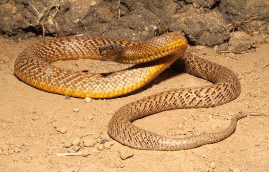 información sobre la serpiente Taipan Interior