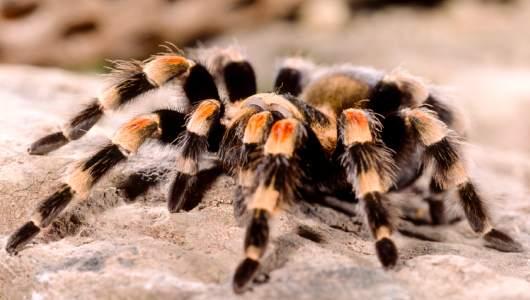 información sobre la tarantula 1
