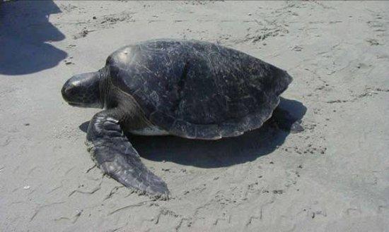 información sobre la tortuga laúd 1