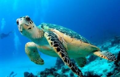 información sobre la tortuga laud 1