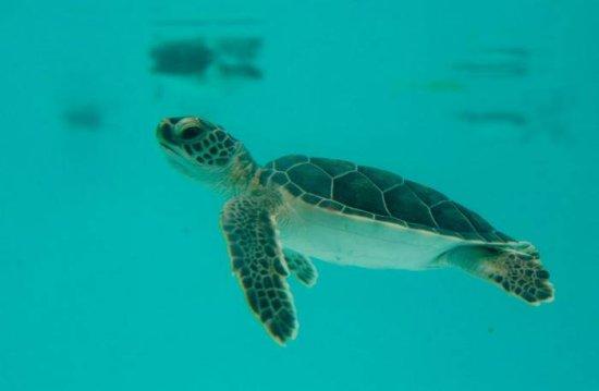 información sobre la tortuga laud 2