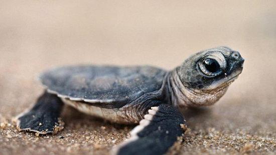 información sobre la tortuga laud 3
