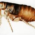 información sobre las pulgas 1