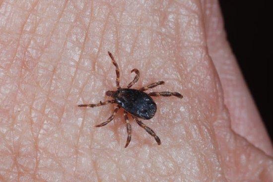 información sobre las pulgas 3