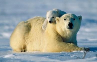 oso polar en peligro de extinción 3