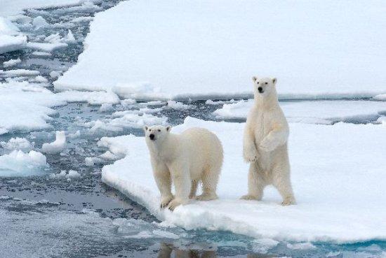 oso polar en peligro de extinción 4