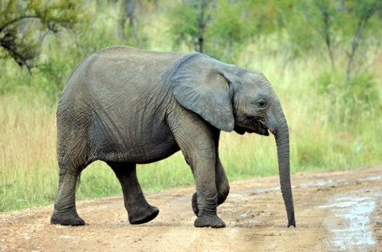 Información sobre el elefante 2