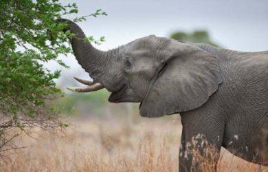 Información sobre el elefante 3