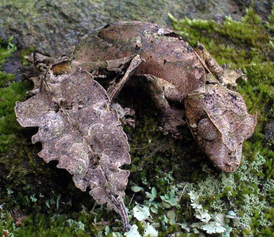 Información sobre el gecko satánico cola de hoja 1